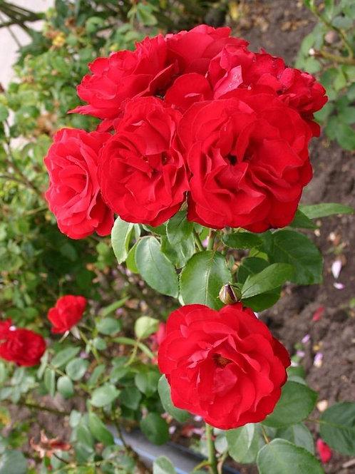 Роза Шрабы (Modern Shrub) Ulmer Munster