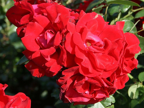 Роза плетистая Santana