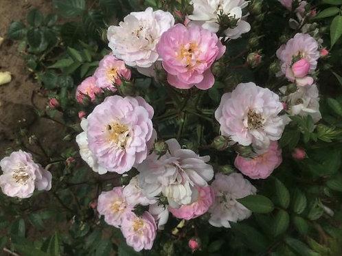 Роза плетистая Perennial Blush