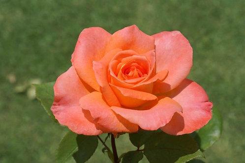 Роза чайно-гибридная Ambasador