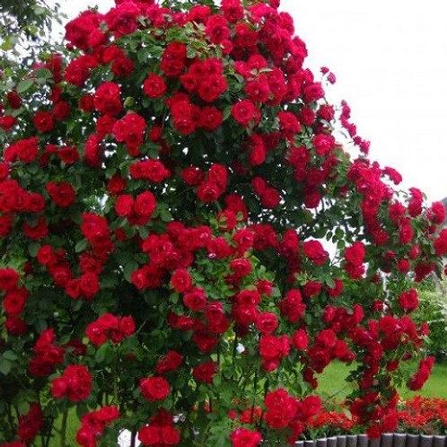 Роза плетистая Baikal