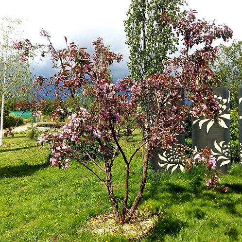 Яблоня Макамик