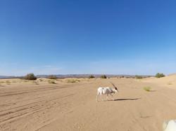 Animaux sauvages du désert.jpg