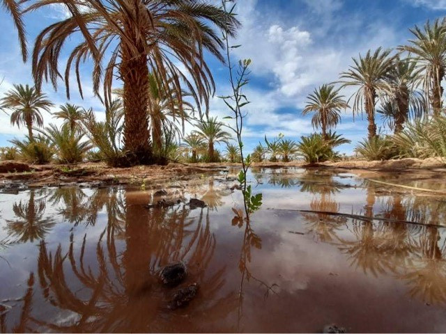 Les dattes de la vallée du Drâa sont réputées pour être les meilleures du Maroc car elles sont gorgées de soleil