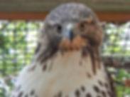 BTBW Hawk.JPG