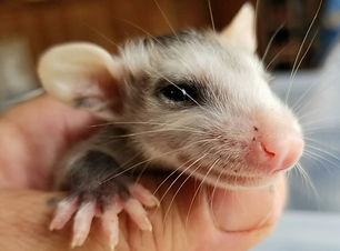 SB Opossums.jpg