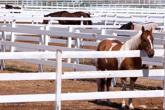 White Fenced Horses