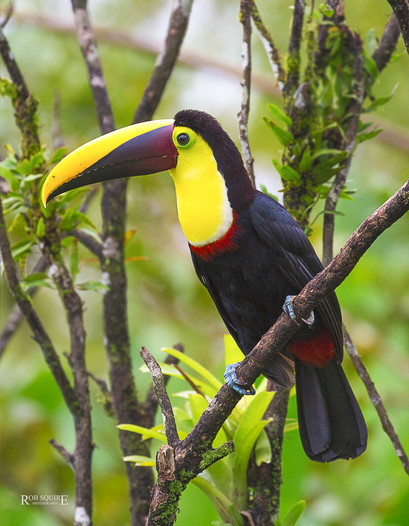 Cost Rican Toucan
