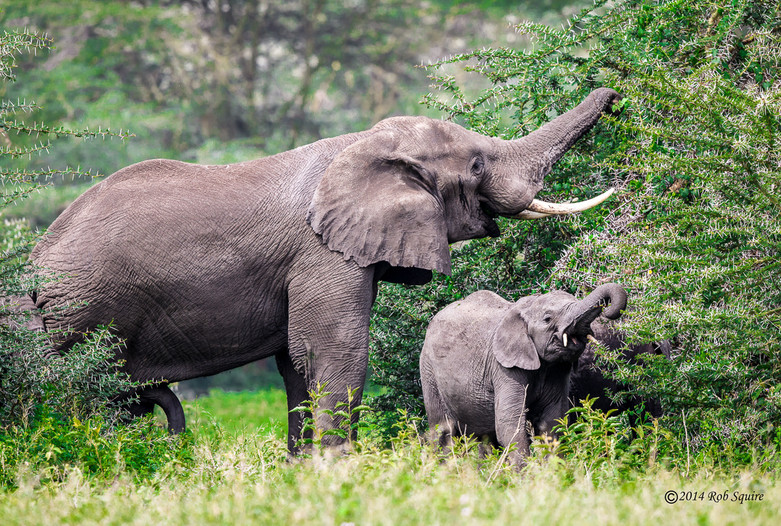 Bull Elephant and Calf