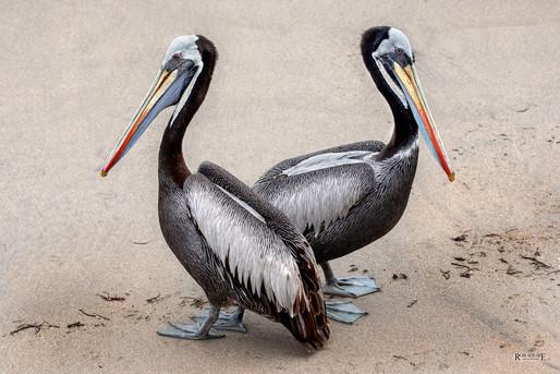 Pelican Spat