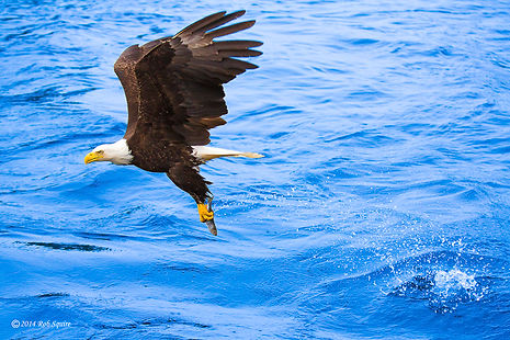 Bald Eagle Success V2 LE1,EE1 (web100).j