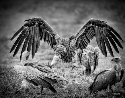 Vulture On Attack