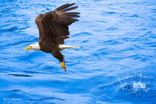 Bald Eagle Success