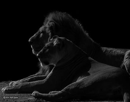 Lion Silhouettes