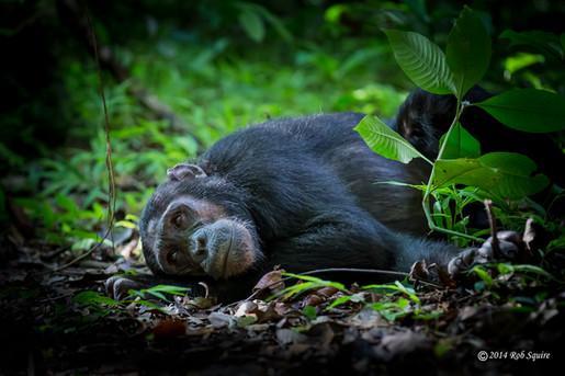 Reposing Chimp