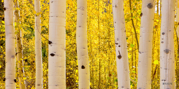 A Forest Of Aspens
