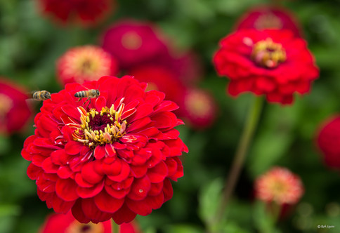 Red Zinnias With Two Bees