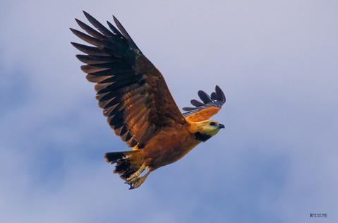 Black Collared Hawk In Flight