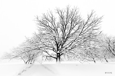 Tree In Blizzard