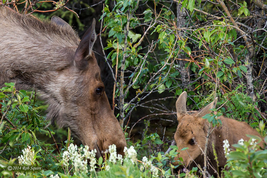 Cow Moose and Her Calf
