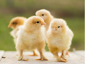 buff-orpington-bantam-chicks-picture-id4