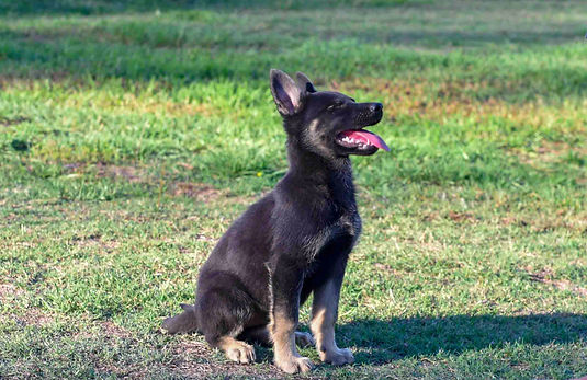 extreme-german-shepherd-puppy_edited.jpg