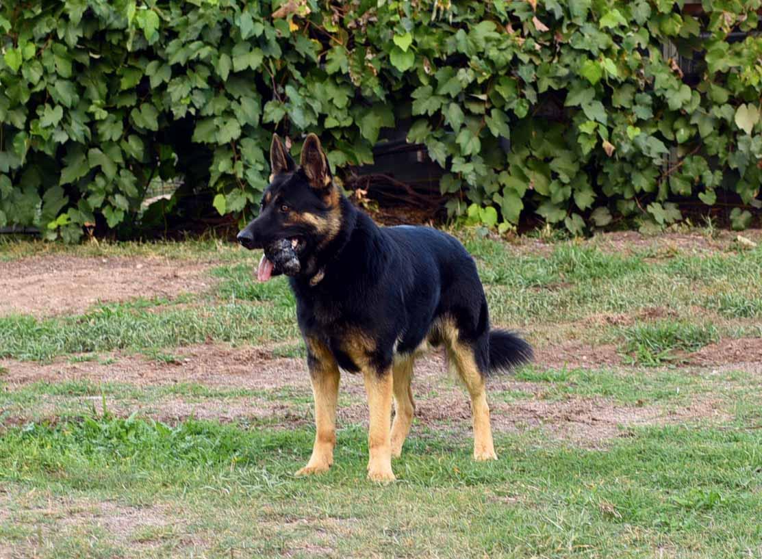 adolph-german-shepherd