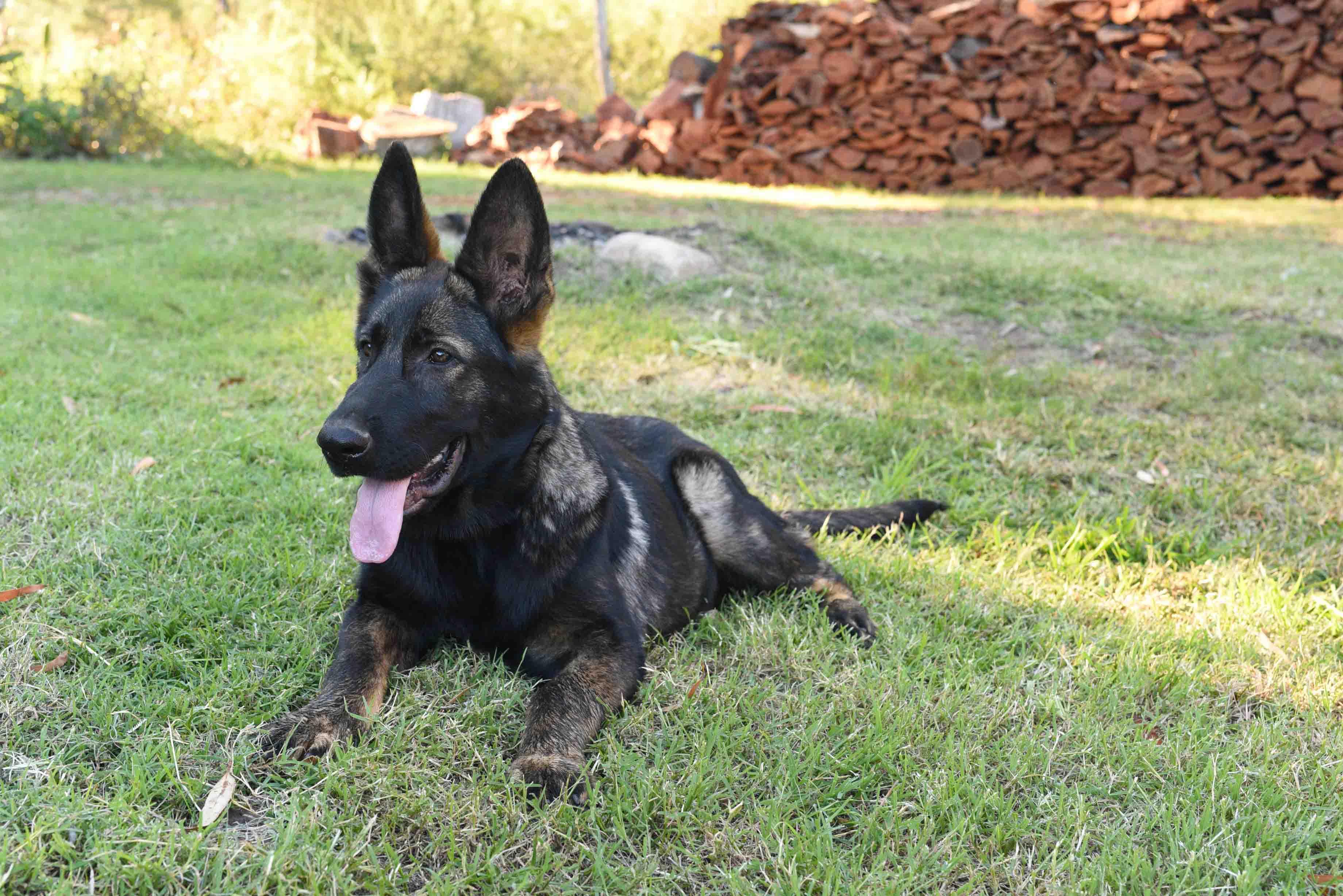 wolf-german-shepherd-puppy