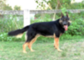 adolpho-german-shepherd-dog.jpg