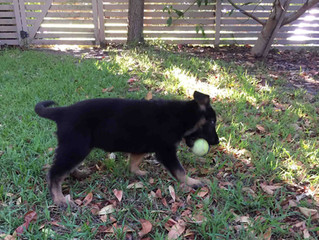 German Shepherd puppy delivered to Melbourne