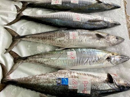【夢幻魚系列】大物馬加(土魠)你知多少!? 釣魚攻略在這裡~