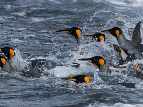 Stunning Facts About Seabirds: Penguins