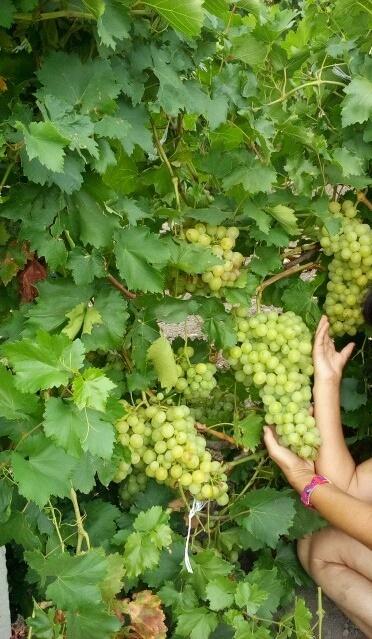 виноград .jpg