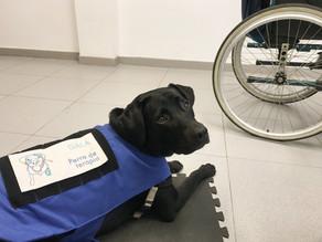 ¿Cómo ayuda un perro co-terapeuta a una persona con Daño Cerebral Adquirido?🐶