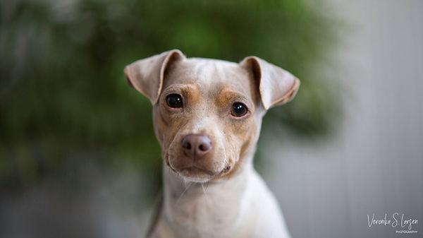 Maienyas Isabela Storm - Brasiliansk Terrier