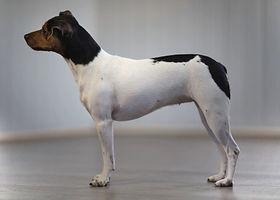 Brasiliansk Terrier, Lundella Av Querido Ludo