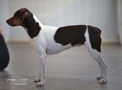 Auri Tough In Fluff - Brasiliansk Terrier
