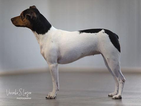 Lundella av Querido Ludo - Brasiliansk Terrier