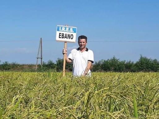 Riso Ebano su Agromagazine / *Ebano Rice on Agromagazine