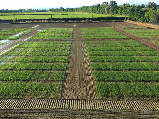 Sementi di riso di alta qualità ad IRES / *Producing high quality seed at IRES