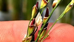 Sviluppo nuove varietà ad  IRES: sfide per il futuro! / *Development of new rice varieties at IRES!