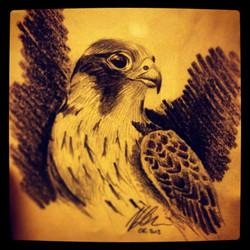 Falco pellegrino ©Nadia Besomi