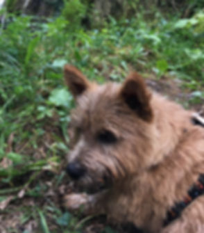 Norwich Terrier_edited.jpg