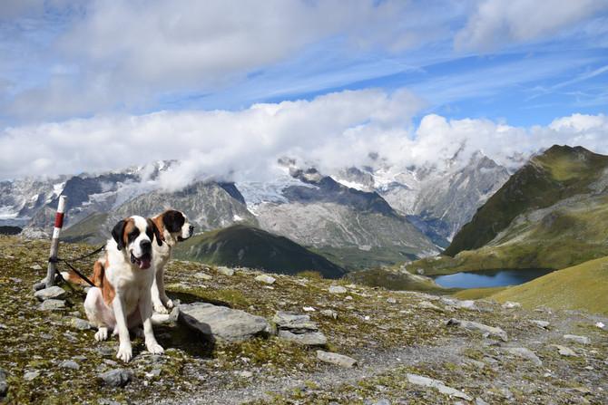 """Bienvenue sur le nouveau site web de l'élevage de st-bernard """"de l'Orée des Montagnes&q"""