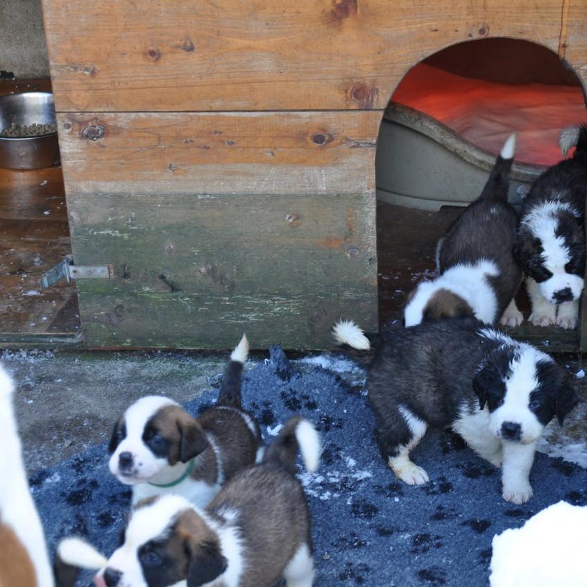 16-01-16 chiots st-bernard 022
