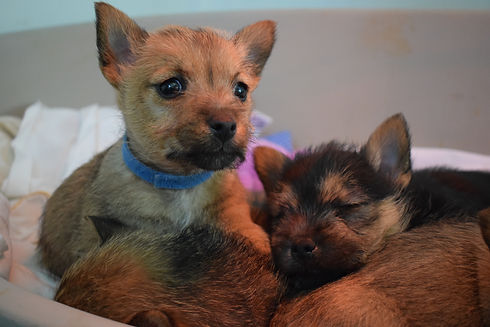 Norwich Terrier Puppy