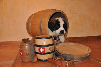 st-bernard, saint-bernard, chiot, puppy, welpe
