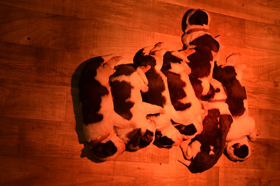 Elevage de st-bernard suisse - expo