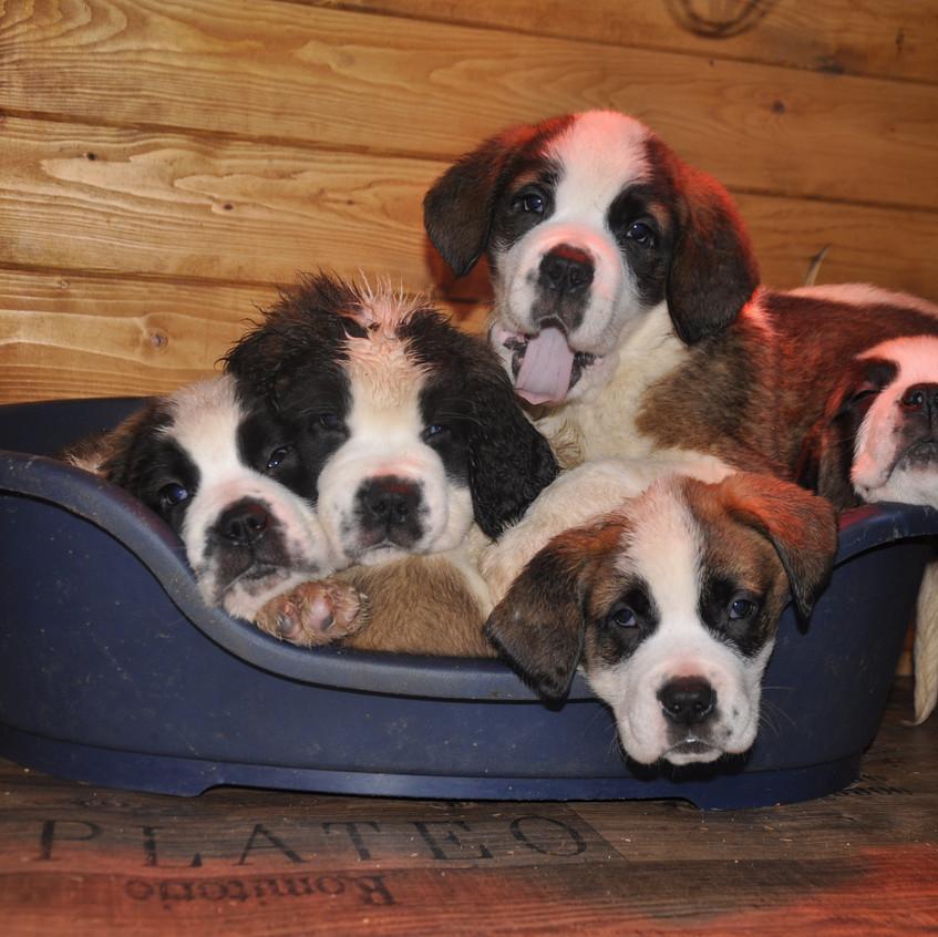 16-02-05 chiot st-bernard puppy 002