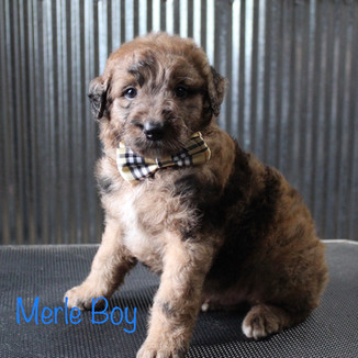 Merle Boy